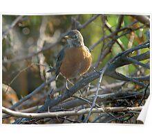 Robin in brush Poster