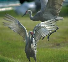 Dancing Sandhill Cranes by Larry  Grayam