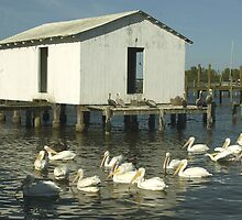 White Pelicans and dock by Larry  Grayam