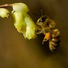 Honey Bee: Spring is Here by David Friederich