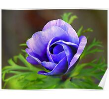 a is fore  ANEMONE CORONARIA Poster