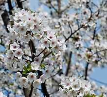 Cherry Blossoms 2 by Alison Cornford-Matheson