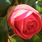 Camellia by Barry Norton