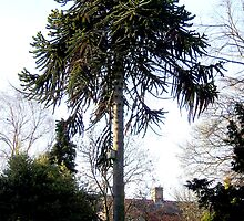 Monkey Puzzle 5 by Barry Norton