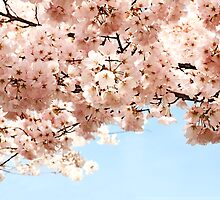Cherry Blossoms by blackjack