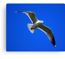 Common Gull #2 Canvas Print