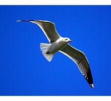 Common Gull #2 Photographic Print