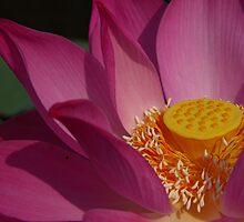Lotus Flower by chrispua