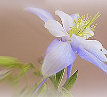 Soft And Lovely Columbine Flower by kkphoto1