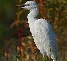 Cattle Egret, juvenile by photosbyjoe