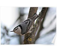 Cute Nuthatch Poster