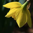 Daffodil by Mary Campbell