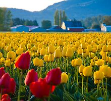 Tulip Fields at Dawn by RavenFalls