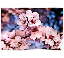 almond tree in Bockenheim-Germany Poster