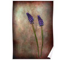 Muscari (Grape Hyacinth) Poster