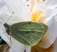 butterfly on a double daffodil by stresskiller