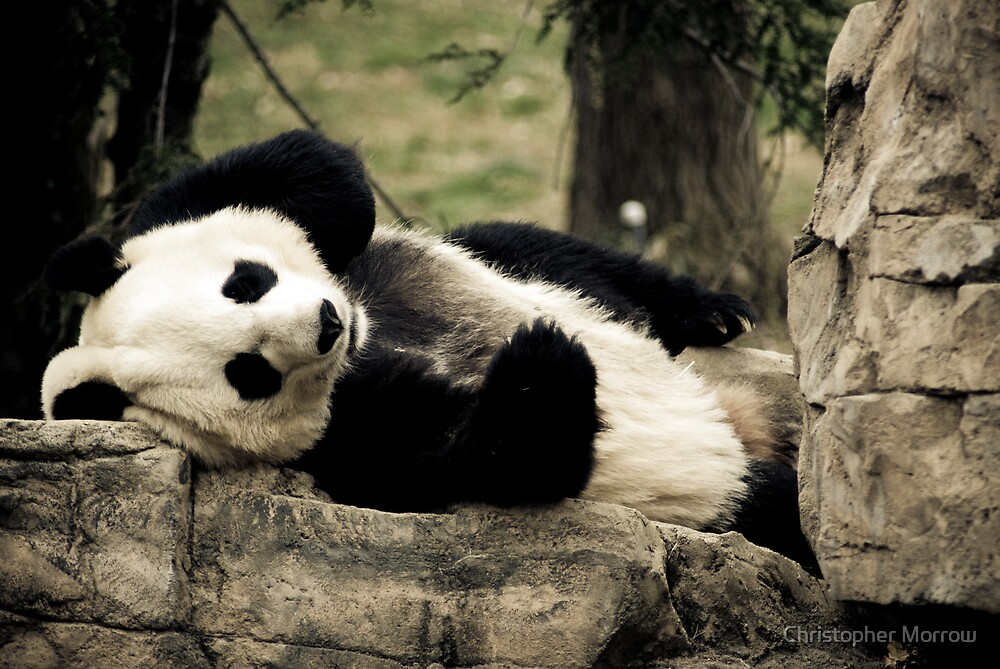 Mei Xiang @ The National Zoo by Christopher Morrow