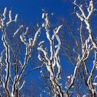 Snow Covered Tree Branches by Helena Haidner