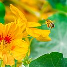Collecting Pollen.... by buddybetsy