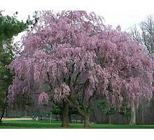 The Weeping Cherry Tree Photographic Print