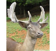 Fallow Deer - Head Shot Photographic Print
