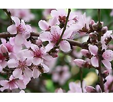 Cherry blossoms in bloom Photographic Print