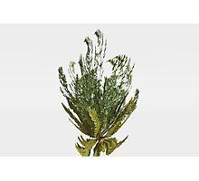 Foeniculum Plant Photographic Print