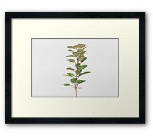 Rubber Plant Framed Print