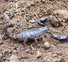 black rock scorpion,  by jeroenvanveen