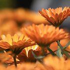 Blossom by Azamuddin