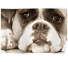 Bored Boxer Poster
