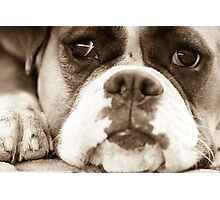 Bored Boxer Photographic Print