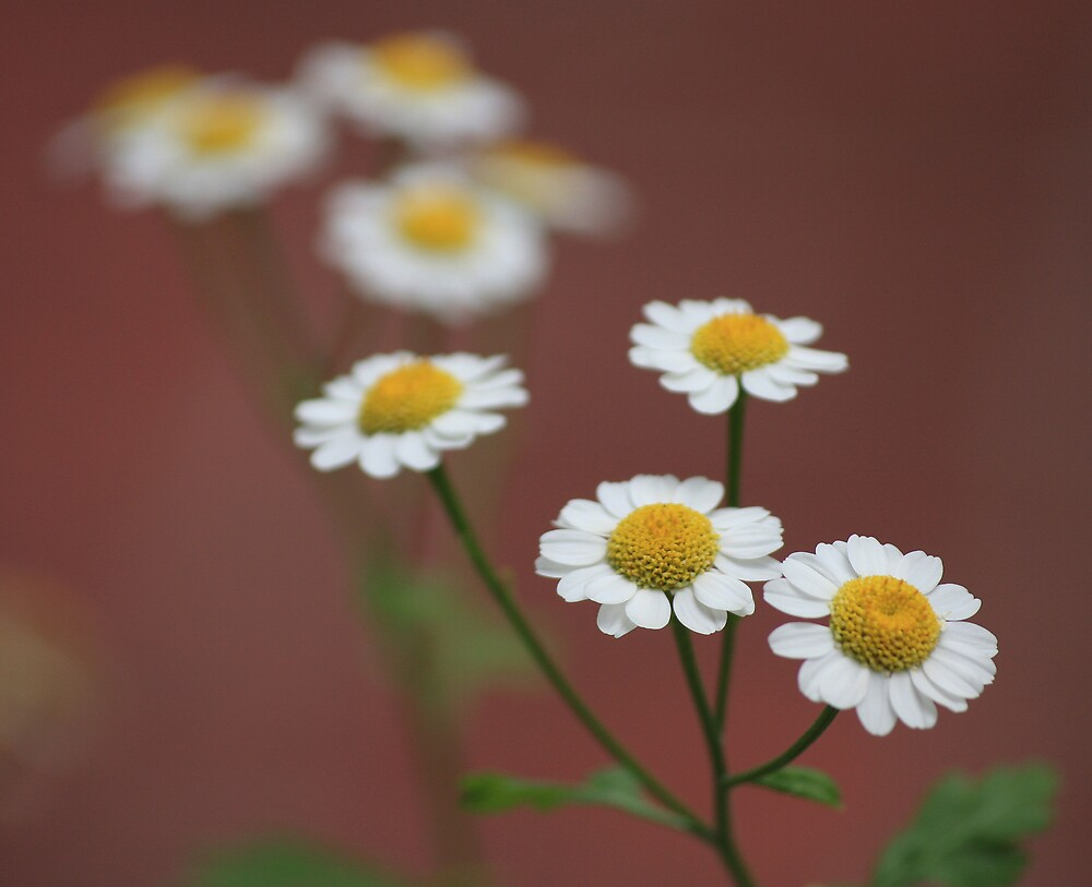 Daisies on Terracotta by Geoff Smith