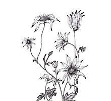 Flannel Flower - Actinotus helianthe by -liz-craig-