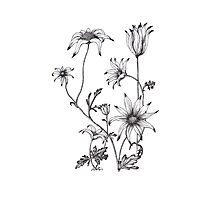 Flannel Flower - Actinotus helianthe Photographic Print