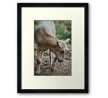 Cream Colored Goat Framed Print