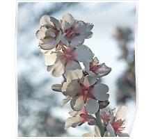 fiori di mandorlo Poster