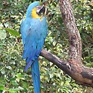 Giant Blue Macaw by Edward Denyer