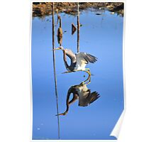 Tri-Colored Heron 1 Poster