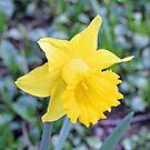 """""""Yellow Daffodil"""" by Lynn Bawden"""