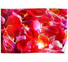 Tulip petals Poster