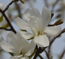 White Magnolia Blooming in The Spring by Lena127