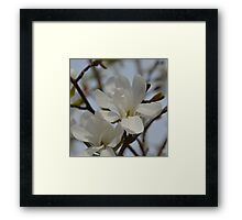 White Magnolia Blooming in The Spring Framed Print
