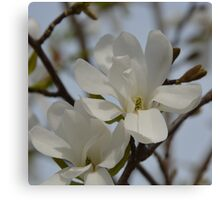 White Magnolia Blooming in The Spring Canvas Print