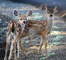 Fawns looking at camera - 1730 by BartElder