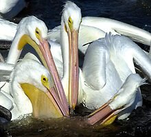 White pelicans feeding by Larry  Grayam