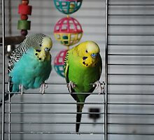 Pet budgerigars by anibubble