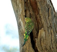 Female budgerigar at Alice by anibubble