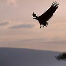 Vulture landing by David Clarke