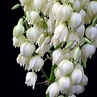 Yucca  treculeana Carr. flower by Magee